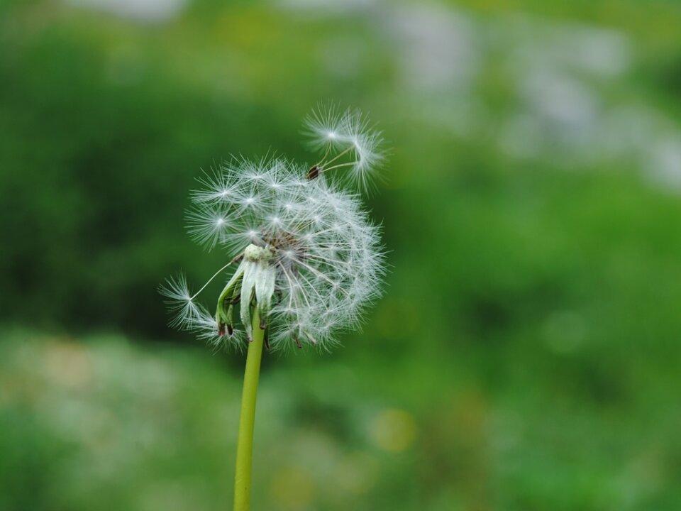 Die Intuition der Pusteblume